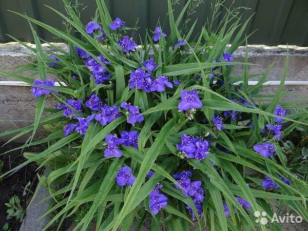 цветок традесканции виргинской