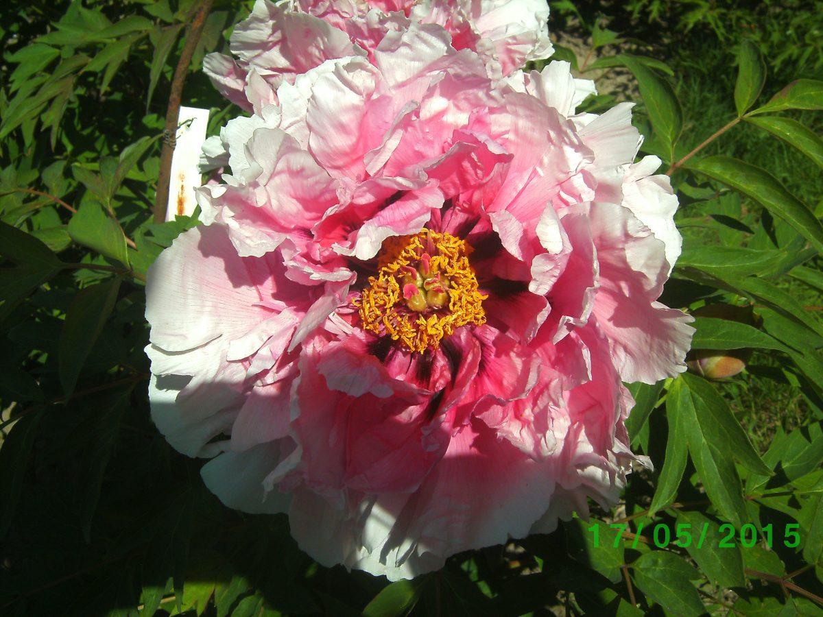 цветок древовидного пиона