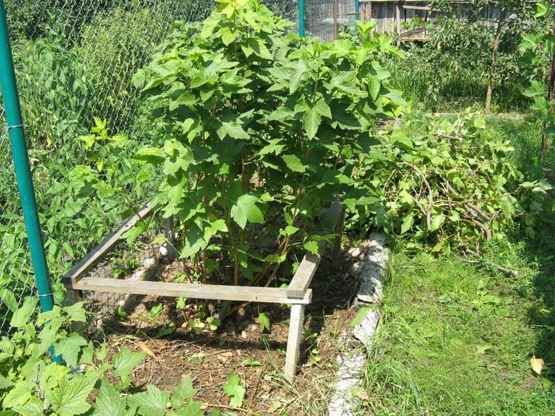 Сажать ягодные кустарники осенью 409