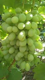 Виноград Ланселот