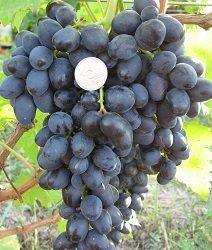 Виноград Презент