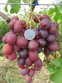 Виноград Дюжина