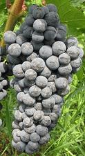 Технический виноград Каберне Кортис