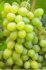 Виноград НПЗ
