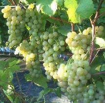 Технический виноград Платовский