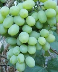 Виноград Подарок медовый
