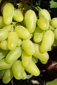 Виноград Руфь